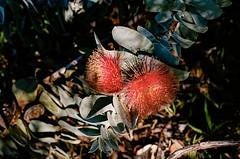 Western Australia wildflower trip 08/2018 (Nikon FM3A & Kodak Ektar 100) (Cecilia Temperli) Tags: australia westernaustralia wildflowers spring eucalyptusmacrocarpa eucalyptus westernfloracaravanpark film kodak nikon nikonfm3a kodakektar100 ektar100