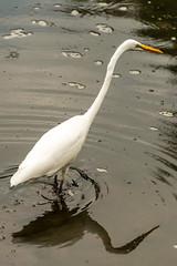 180918 Yakushiike Park-02.jpg (Bruce Batten) Tags: animals birds honshu japan lakesponds lighthouses locations machida parks reflections ripples subjects tokyo vertebrates wild yakushiike