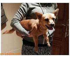 Chiuaua de unos 7 meses, abandonado (Leales.org • tu guía animable) Tags: adopta adoptar adoptanocompres noalmaltratoanimal adopción sebusca extraviado perdido perro gatos lealesorg