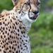 Portrait of a cheetah showing tongue