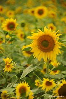 zomerse-zonnebloemen