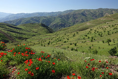 DSC07340 (Dirk Rosseel) Tags: alamut valley mountain mountains poppies iranian iran fields flower flowers