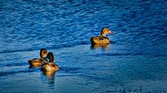 _110027_a-1 (ron_kuest) Tags: ronkuest baskettsloughnationalwildliferefuge ducks