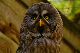 Chouette laponne - Great grey owl