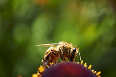 bee (Jos Mecklenfeld) Tags: bee bij biene insects insekten insecten nature natur natuur flower blume bloem sony30mmf35macro sel30m35 sonya6000 sonyilce6000 macro schlossevenburg loga deutschland duitsland leer niedersachsen germany de
