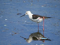 Black-winged stilt, adult. (Vitaly Giragosov) Tags: blackwingedstilt himantopushimantopus crimea sevastopol waterbird ходулочник севастополь крым водныептицы rf
