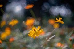 _DSC0105 (kymarto) Tags: bokeh bokehlicious bokehphotography dof depthoffield flowers flowerphotography nature naturephotography beauty beautiful sony sonyphotography sonya7r2 oldlens vintagelens