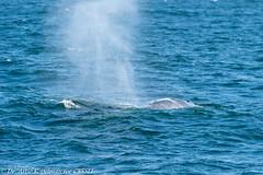 AHK_7301 (ah_kopelman) Tags: 2018 balaenopteraphysalus cresli creslivikingfleetwhalewatch finwhale montaukny vikingfleet vikingstarship whalewatch