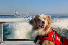 Laika Deep Sea Fishing in Maine (ynaka29) Tags: laika dog aussie toyaussie australianshepherd toyaustralianshepherd redmerle fishing maine portland deepseafishing teazer captainpete