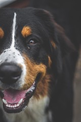 232/365 - Happy Kobi (Forty-9) Tags: smiling happykobi portrait bernesemountaindog kobi dogphotography dog photoaday monday august 20082018 20thaugust2018 day232 232365 project3652018 3652018 2018 365 project365 forty9 tomoskay lightroom ef50mmf18ii eflens eos60d canon