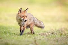 On Patrol... (DTT67) Tags: redfox fox animal mammal 500mm 1dxmkii canon maryland wildlife nature