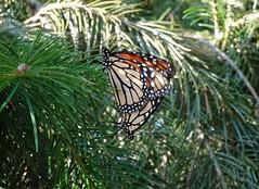 DSC03510b (Naturecamhd) Tags: sonycybershotdschx90v dschx90v hx90v newyorkbotanicalgarden nybg botanicalgarden nature bronx green eco sonyhx90v monarchbutterfly monarch thebronx homegardeningcenter conifer