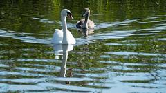 Swans approaching, Avon (Dave_A_2007) Tags: bird nature swan wildlife stratfordonavondistrict warwickshire england