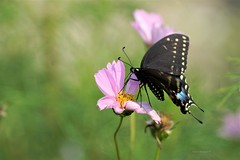 Cosmos flower (Anton Shomali - Thank you for over 1 million views) Tags: flickr beauty beautiful colours colors closeup closeups macro photography head wings flowers flying hungry in flight black swallowtail butterfly searching for food nature cosmos cosmosflowers popular bold boldcolors season seeds attract blackswallowtailbutterfly swallowtailbutterfly