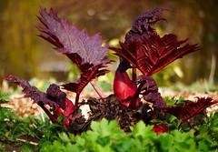 GroWinG. (WaRMoezenierr.) Tags: growing flower bloem flor red rood rojo park goes zeeland nederland pays bas structuur netherlands panasonic lumix