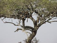 IMG_0291 (francesca.clemente) Tags: africa kenya tanzania masai mara masaimara serengeti amobseli nogorongoro lion bigcats elephants wildebeast greatmigration safari leopard cheetah buffalo zebra giraffe birds park savanna flamingo monkey summer wilderness big cats great migration grass animal giraffes hippos sunset cubs ghepardo ippopotamo balloon hotair zebras gnu wildbeast wildebeest nature nationalparks parks camping lodge sunrise river crossing marariver gamedrive landcruiser