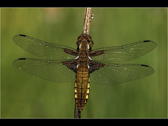 Broad bodied Chaser (Paul West ( pwest.me )) Tags: nature dragon fly dragonfly brockholes countryside riverside naturelovers wildlife wildlifepics macro wildlifepictures wildlifephotographer wildlifephotography naturephotography naturepictures naturephotographer birdphotography wildlifephoto animal naturephotoportal poultonphotosoc photography wildlifeplanet intothewild wildlifeperfection naturephoto naturepics naturepic followme naturecollection natureseekers fourspottedchaser broadbodiedchaser