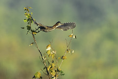 Green Heron (Joseph M. Campbell) Tags: bombayhooknwr naturedelaware wildlife