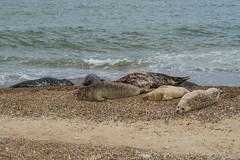 2018_Norfolk_HorseyBeach_Seals_13 (atkiteach) Tags: norfolk uk england horsey horseybeach sea seaside northsea beach seal seals