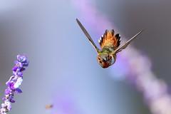 Coming Atcha! (Patricia Ware) Tags: allenshummingbird birdsinflight california canon ef400mmf4doisiiusmlens handheld palosverdespeninsula selasphorussasin ©2018patriciawareallrightsreserved unitedstates us specanimal