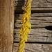 Corde-jaune