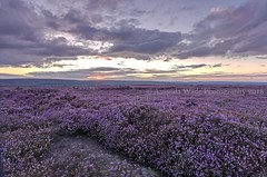 Moor Heather (Amanda Wade Photography) Tags: yorkshirelandscapes northyorkshirephotography yorkshiremoors moors heather sunset sunsetcolours purple landscape landscapesyorkshire aviewofpurple leefilters moorland whitby northyorkshire