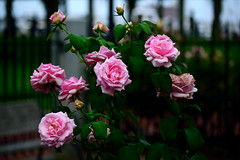 Pink Roses (TheseusPhoto) Tags: color colorsoftheworld nature naturephotography roses flowers beautyinnature beautiful bloom garden