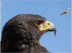Volare... (antonè) Tags: falco rapace uccello becco profilo sassari antonè sardegna volatile occhio piume cielo natureinfocusgroup