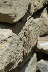Gecko (Tripl3 D) Tags: gekko gecko hagedis lizzard buin brown grijs grey stenen bricks