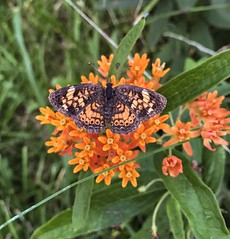 Pearl Crescent Butterfly on Butterfly Milkweed (sumilex77) Tags: ohiopyle nativeplant wildflower milkweed flower padcnr pennsylvania butterfly