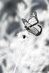 720nm infrared (Brian M Hale) Tags: butterly monarch butterflies insect bee bees soft focus softfocus ir infrared infra red 720nm 720 nm nanometer ma mass massachusetts new england newengland usa boylston brian hale brianhalephoto tower hill botanic botanical garden outside outdoors nature