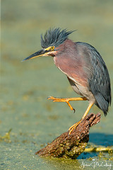 Adult Green Heron (Let there be light (A.J. McCullough)) Tags: greenheron texas texasbirds birds brazosbendstatepark brazosbend 82018