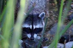 Raccoon at San Joaquin Wildlife Sanctuary, Irvine, CA (OC Hiker) Tags: sanjoaquinwildlifesanctuary 09152018 orangecounty california afsdxnikkor55300mmf4556gedvr nikond5300 raccoon procyonlotor アライグマ