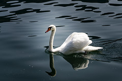 Schwan (Lutz.L) Tags: natur tier vogel schwan wasser