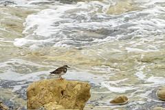 Ruddy Turnstone (JLM62380) Tags: mer sea vague wave rocher rock oiseau bird ruddyturnstone tournepierreàcollier arenariainterpres