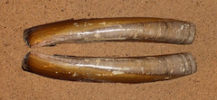 Atlantic jackknife clam (Ensis leei) (shadowshador) Tags: atlantic jackknife clam ensis leei neomura eukaryota opisthokonta holozoa filozoa animalia eumetazoa bilateria protostomia lophotrochozoa mollusca conchifera bivalvia heterodonta euheterodonta veneroida tellinoidea pharidae conchology malacology invertebrate invertebrates taxonomy scientific classification biology sea shell shells sand sandy beach wildlife life brown shiny glossy colijnsplaat netherlands