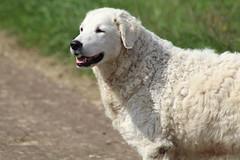 Levi  my  Sweet friend (excellentzebu1050) Tags: dog doggy farmdog field outdoor grass animal animalportraits pet summer2018 coth5 sunrays5