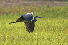 grey heron in flight (photos4dreams) Tags: gersprenz münster hessen germany naturschutz nabu naturschutzgebiet photos4dreams p4d photos4dreamz nature river bach flus naherholung heron reiher graureiher grey