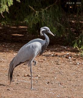 Walsrode, Weltvogelpark, Jungfernkranich