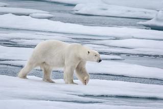 Magnificent Polar Bear