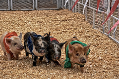 ... (Betty Cowart) Tags: fair statefair nashville tennessee pig race bandanna run piglet pendant ham porker