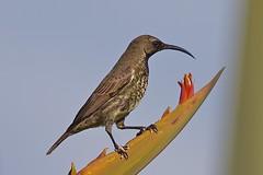 Amethyst Sunbird ( juvenile male) (cirdantravels (Fons Buts)) Tags: suikerbekkie sunbird honingzuiger souimanga glanzköpfchen nectarina suimanga chalcomitra amethyst amethystina nectariniidae passeriformes coth5 specanimal
