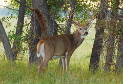 September 6, 2018 - A nice looking White-tailed Deer buck. (Bill Hutchinson)