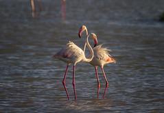 Flamingo's Love (Ricard Sánchez Gadea) Tags: flamenco flamenc flamingo deltadelebre deltadelebro delta natura naturaleza pajaro ocell bird canon catalunya canonistas catalonia cataluña 7d 7dcanon eos7d canon7d canoneos7d 150600 sigma150600mmf563dgoshsmcontemporary sigma150600 pájaro agua mar océano sunset