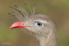Red-legged-Seriema Up close! (www.NeotropicPhotoTours.com) Tags: redleggedseriema juancarlosvindas birdphotograpy neotropicphototours brazil pantanal closeup portrait bird sideview lookingatcamera fullframe canon juancarlosvindasphotography