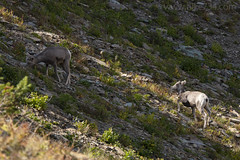 "Bighorn Sheep • <a style=""font-size:0.8em;"" href=""http://www.flickr.com/photos/63501323@N07/43908280924/"" target=""_blank"">View on Flickr</a>"