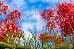 Red Spider Lily (Hiro_A) Tags: redspiderlily flower sky nikon d7200 sigma 1770mm 1770 imabari ehime japan shikoku