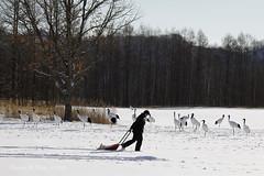 丹頂鶴的早餐時間  feeding time (8 am) for Red-crowned cranes in winter (*dans) Tags: kushiro hokkaido japan setsuririver danielshih japanesecrane redcrownedcrane cranes 雪裡川 施銘成 丹頂鶴 タンチョウ