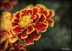 Flowers... (angelakanner) Tags: canon70d lensbaby sol45 closeup garden longisland marigold