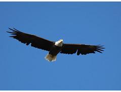 Eagle In Flight (jimmy.stewart40) Tags: wildlife bird eagle baldeagle birdofprey raptor flying flight nature naturephotograph